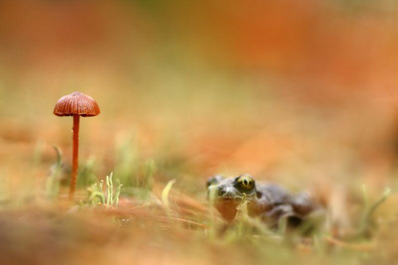 осень, гриб, чесночница, pelobates, fuscus Сосредоточенное ожиданиеphoto preview