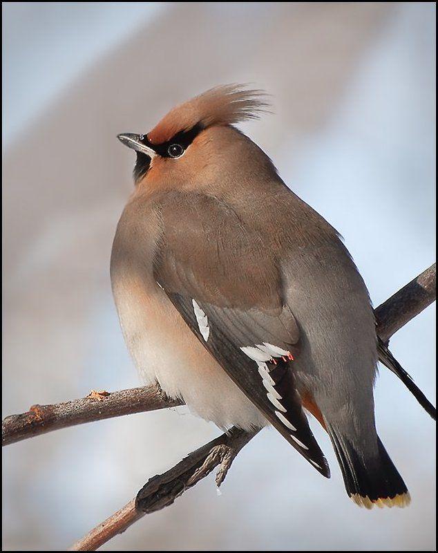 птицы,свиристель,фотоохота Свиристелиphoto preview