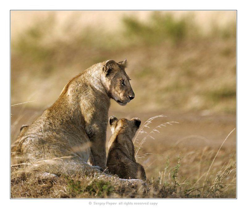 фарика, кения, львы, отношения животных Релакс!!!!photo preview