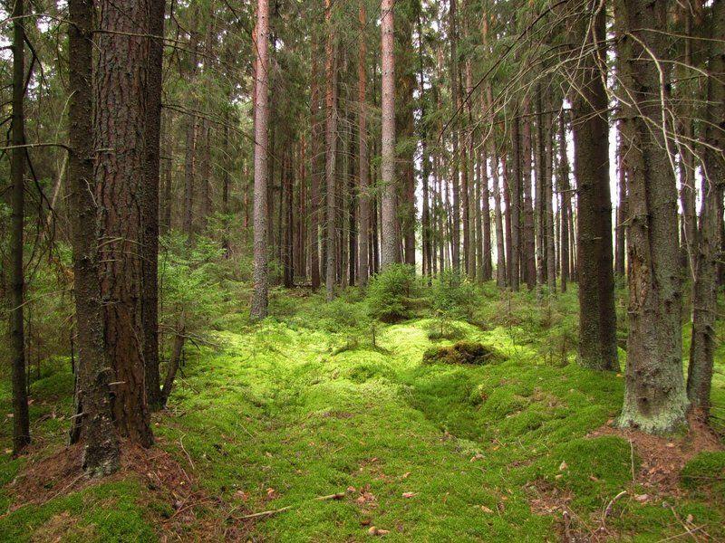 лес, природа, осень, мох, елки, еловый бор, Сказочный лесphoto preview