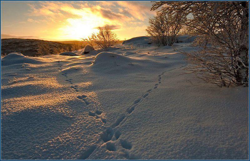следы, заяц, лиса, сопки, снег, ноябрь, закат Разминулись...photo preview