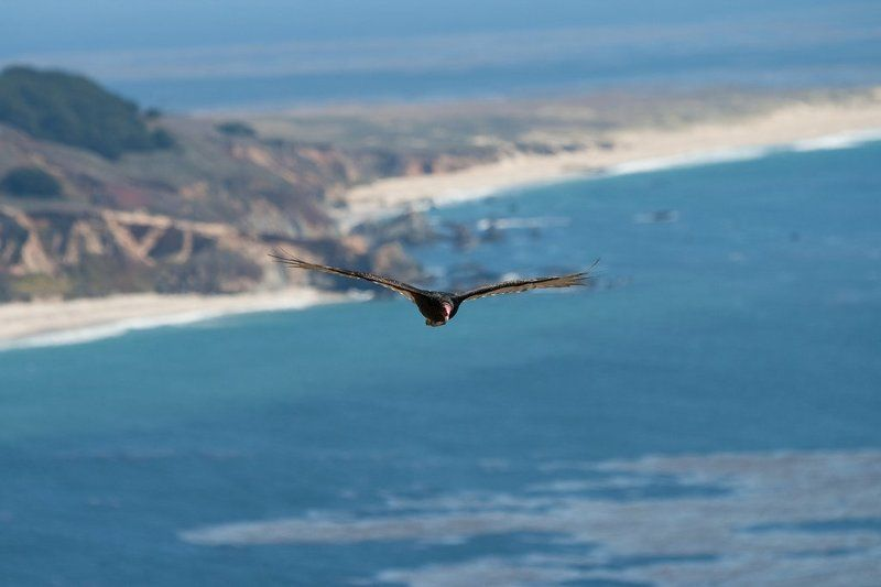 eagle, big sur, california, pacific, usa На охоте...photo preview