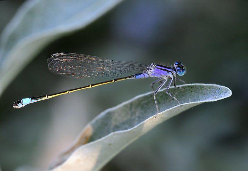 стрелка, изящная, ichnura, elegans Стрелка изящная - Ichnura elegansphoto preview