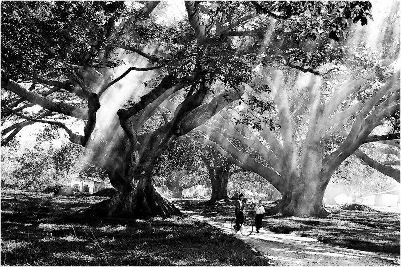 мьянма,пиндая,фикус Игры света...photo preview