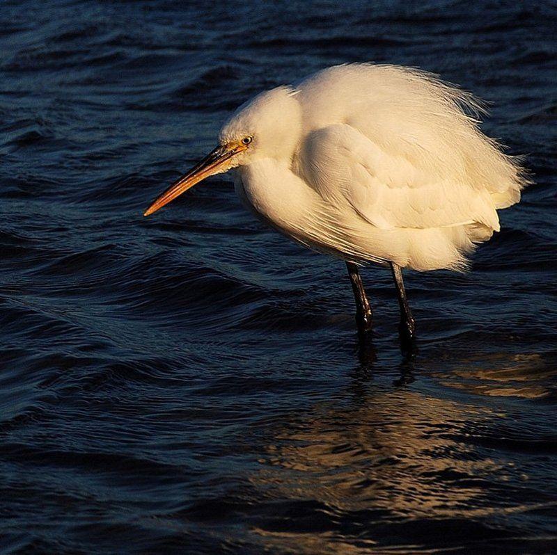 малая_белая_цапля, море_красное, синай ...холодно и зябко на ветру...photo preview