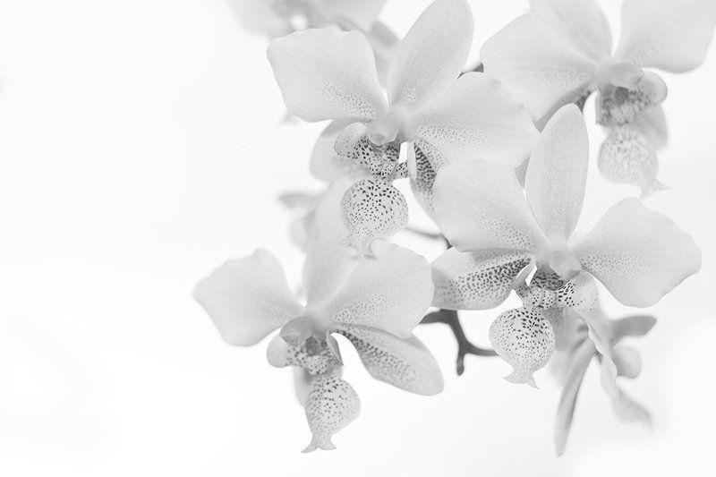 phalaenopsisphoto preview