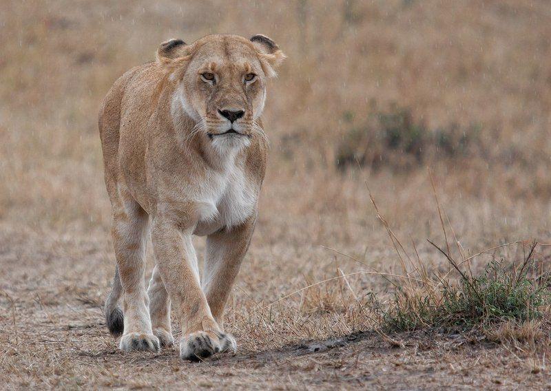 африка, кения, масаи мара, лев, львица, львы Под дождёмphoto preview