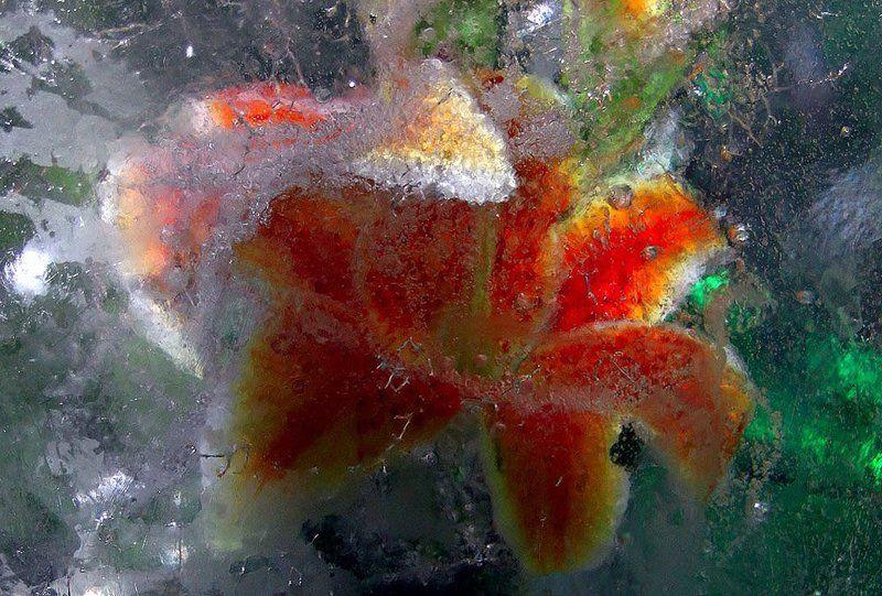 цветы, зима, лед Цветы зимыphoto preview