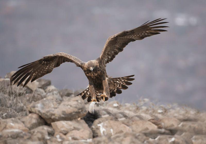 Скален орел   Aquila chrysaetos photo preview