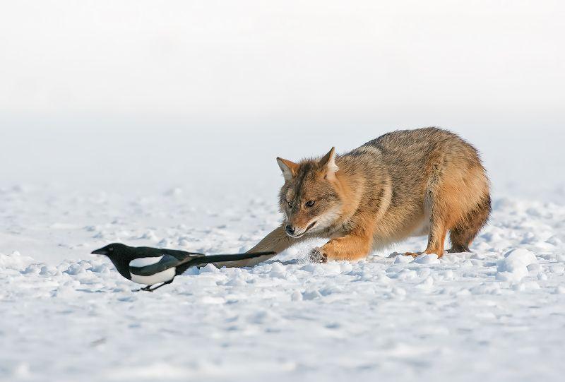 Златист чакал (Canis aureus)photo preview