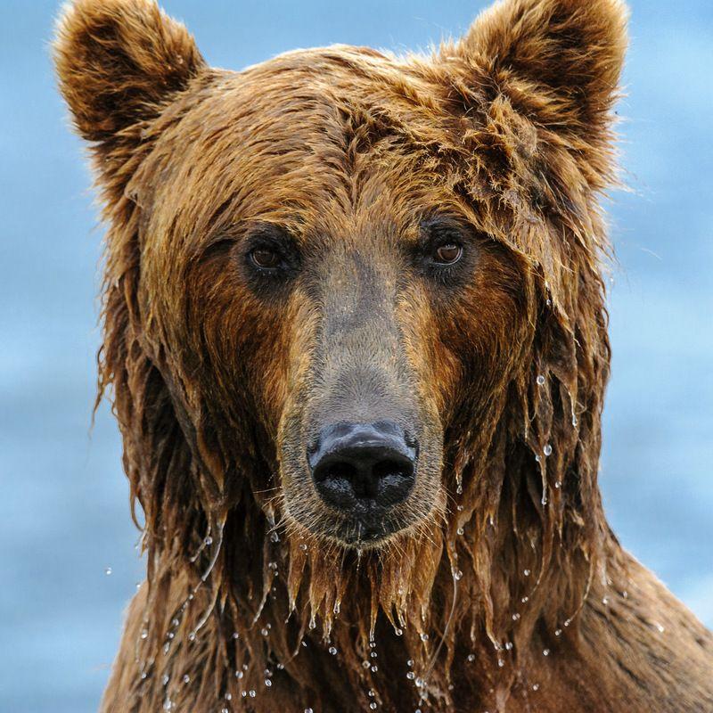 бурый медведь,камчатка, сергей иванов, южно-камчатский заказник Милок ! Сними на паспорт !photo preview