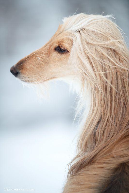 афганская борзая, собака, зима, изгиб Грацияphoto preview