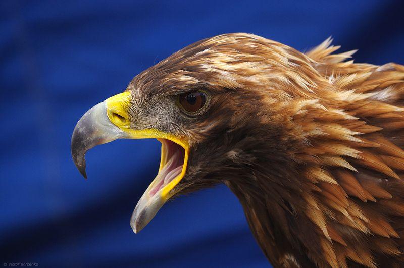 орел, беркут, монголия Беркутphoto preview
