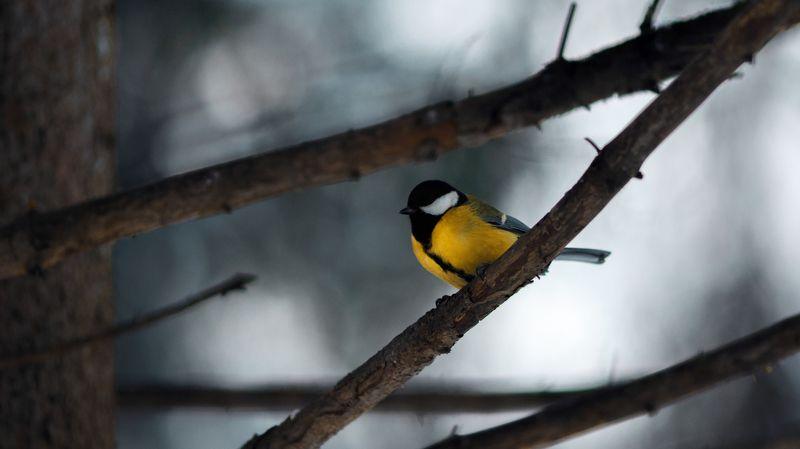 зима,сибирь,птицы Большая синицаphoto preview