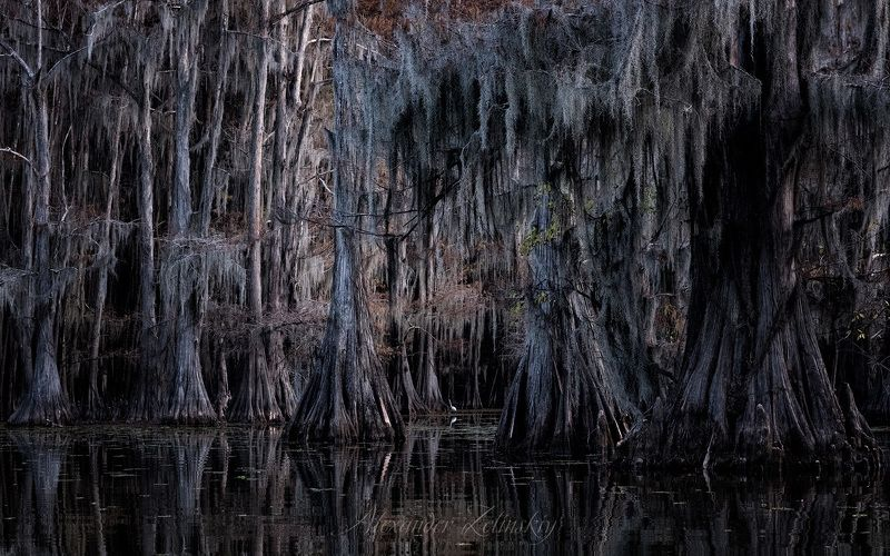 болото, цапля, кипарисы Всплески и шорохиphoto preview