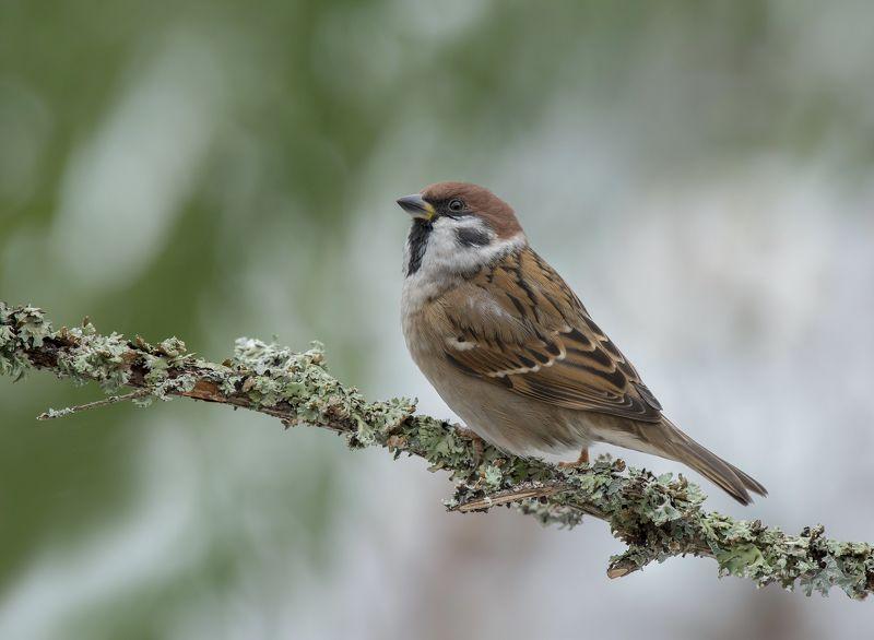природа,птицы,осень Воробей.photo preview