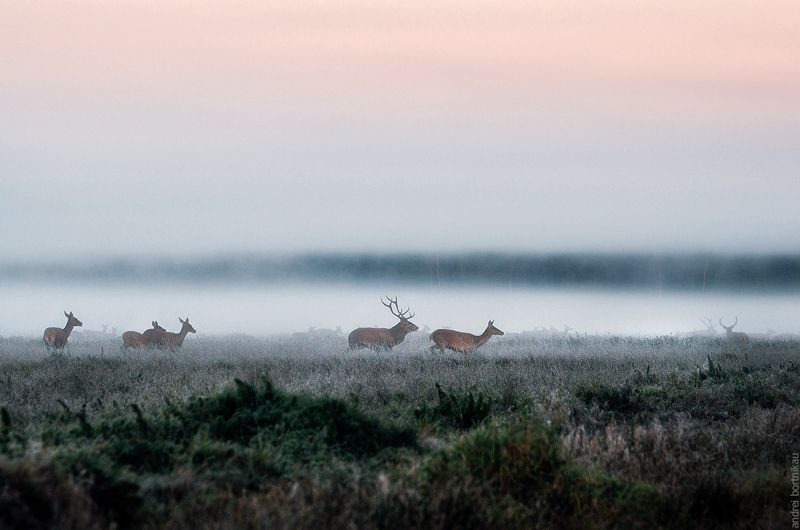 олень, беларусь, природа, пейзаж, туман, животные, wildlife Погоняphoto preview