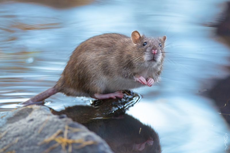 городская крыса домой заберёшь?photo preview
