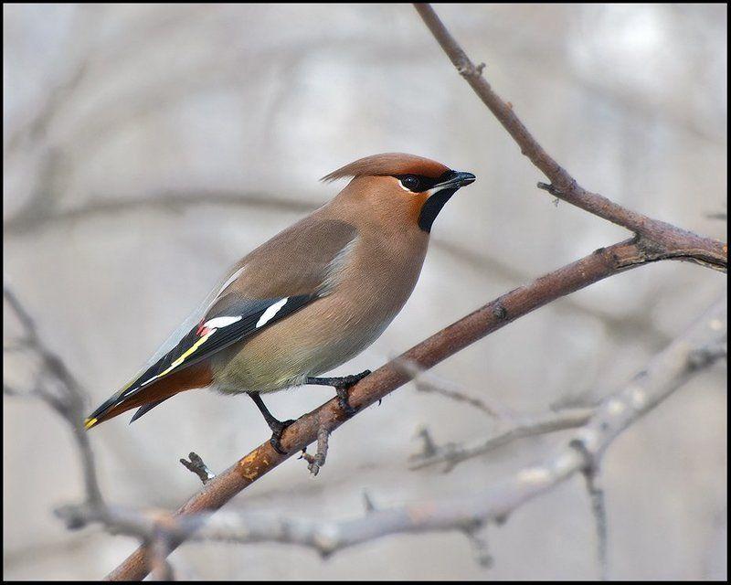 птицы,свиристель,фотоохота Позер 2photo preview