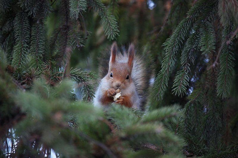 белка, природа, животные В еловых ветвяхphoto preview