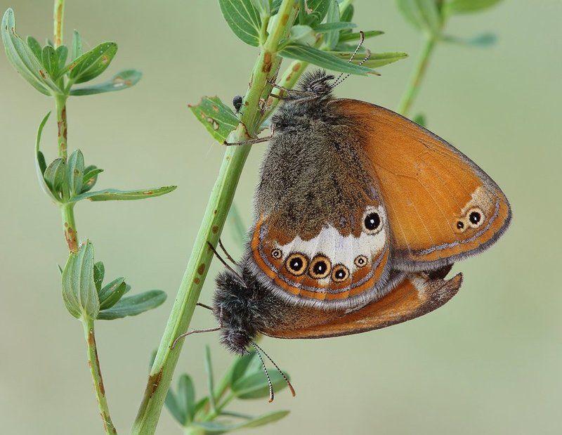 бабочка, сенница аркания Рыжие-бесстыжиеphoto preview