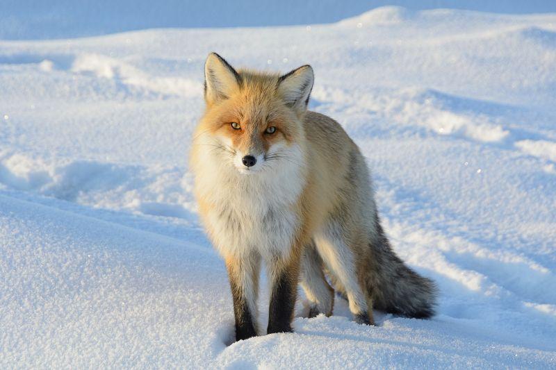 природа, животные, лиса, снег лисphoto preview