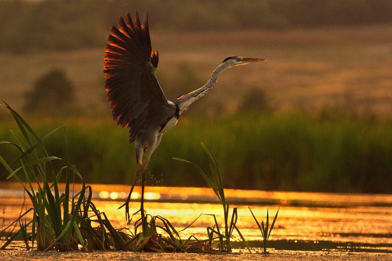 птицы серая цапля На взлетphoto preview