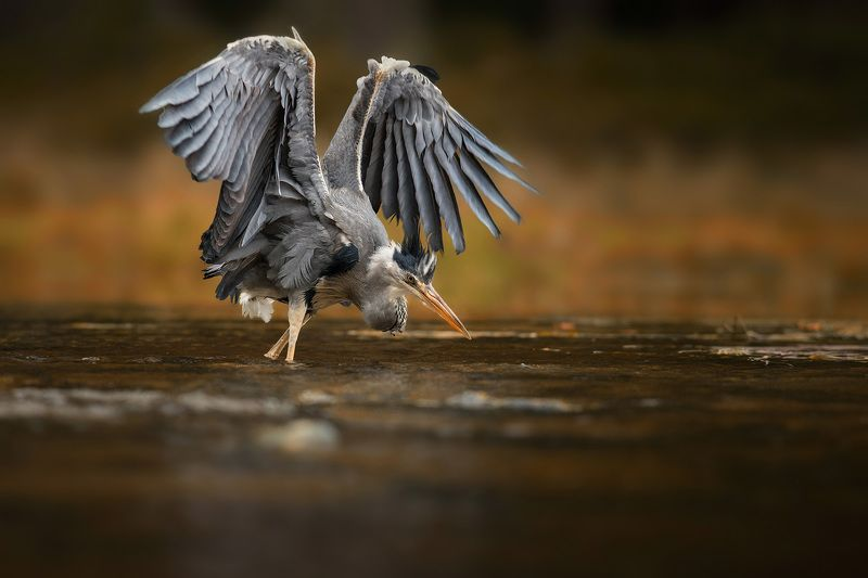 heron, hunt, animal, bird, grey, canon Heron on huntphoto preview