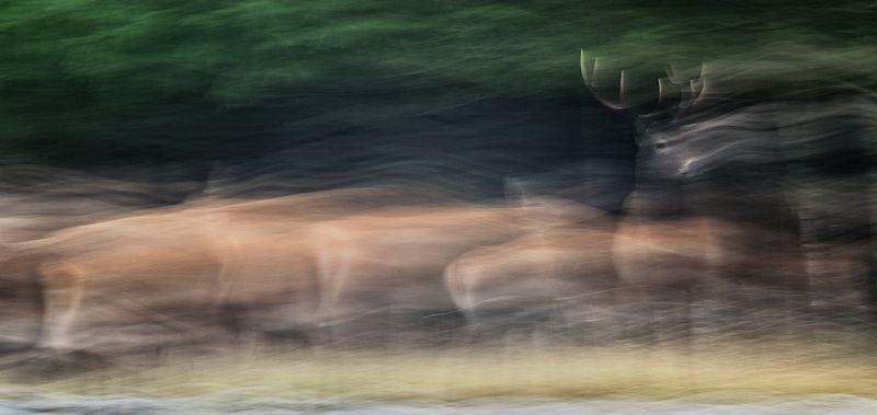 олень, рогач, природа, ICM Лидерphoto preview