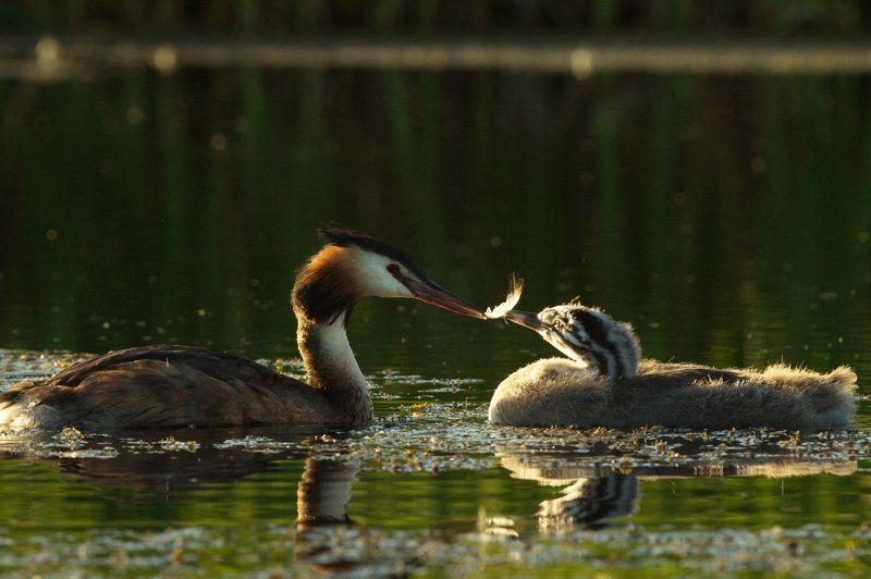 природа птицы чомга птенцы мамины заботыphoto preview