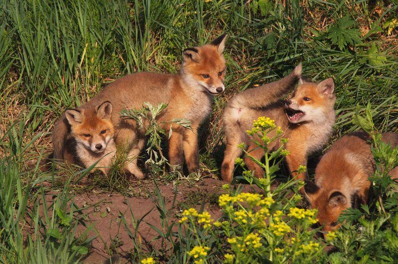 природа лисы лисята Утренние развлеченияphoto preview