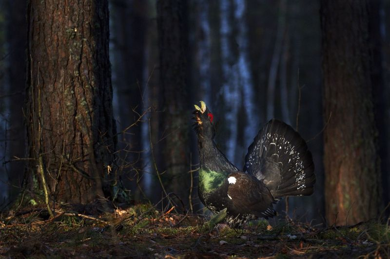 дикая природа мордовии птицы глухарь Хозяин токаphoto preview