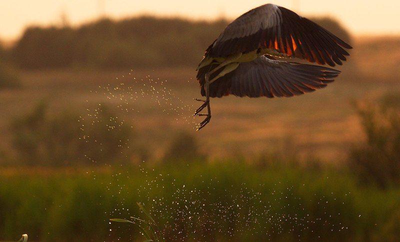 птицы,серая цапля photo preview