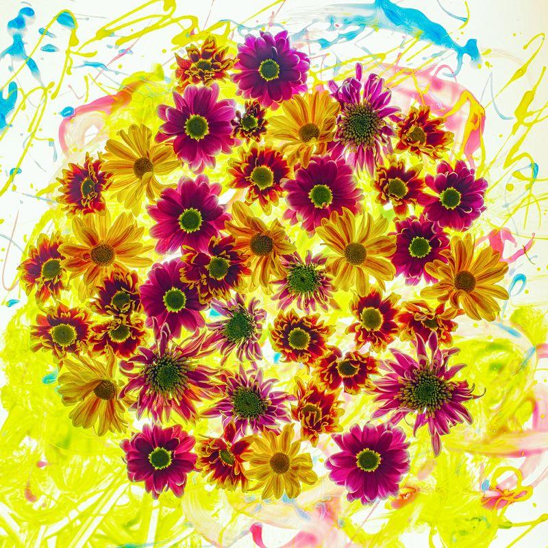 цветы,цветок,макро,хризантема,боке \