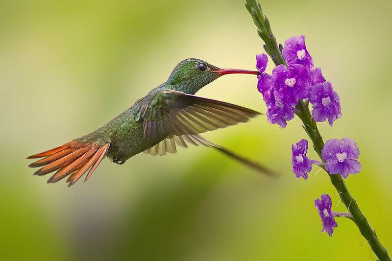 Hummingbirds of Costa Rica (Колибри) фото превью