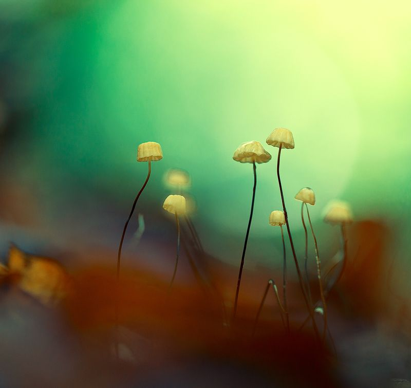 mushroom,mushrooms,nature,forest,macro,fairy,beautiful,close up,marasmius bulliardii,micro, Marasmius bulliardiiphoto preview