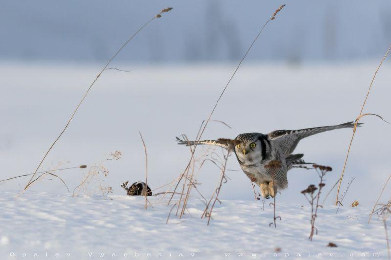 ястребиная, сова, полет, птицы, мышь, еда, кормление, снег, зима, холод, скорость, крылья, хищник, скорость Еду подвезлиphoto preview