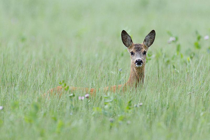 косуля, roe deer После дождяphoto preview