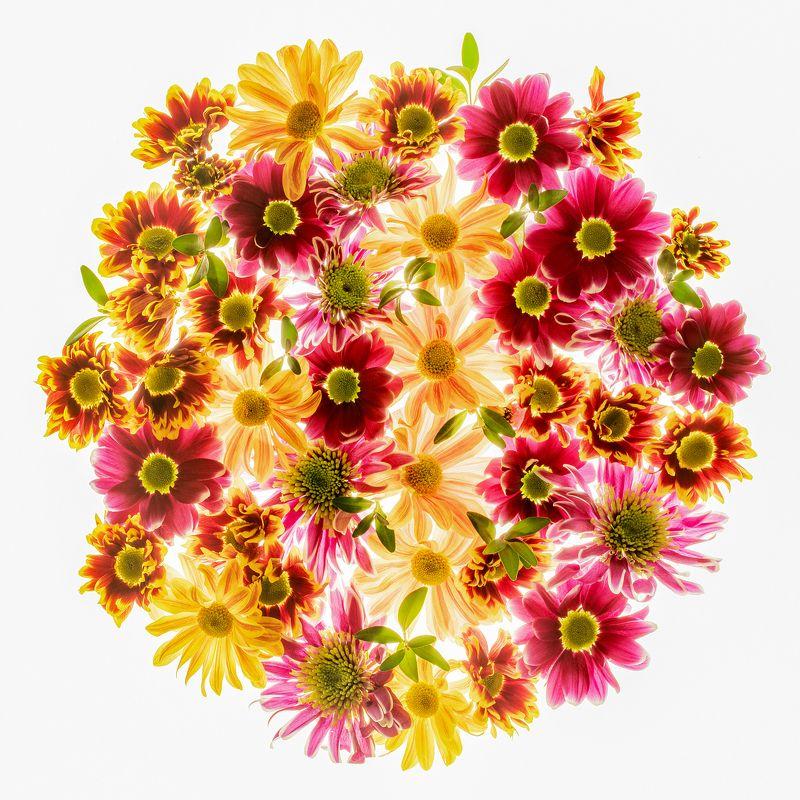 цветы,цветок,макро,свет,хризантемы Немного тепла в морозный деньphoto preview