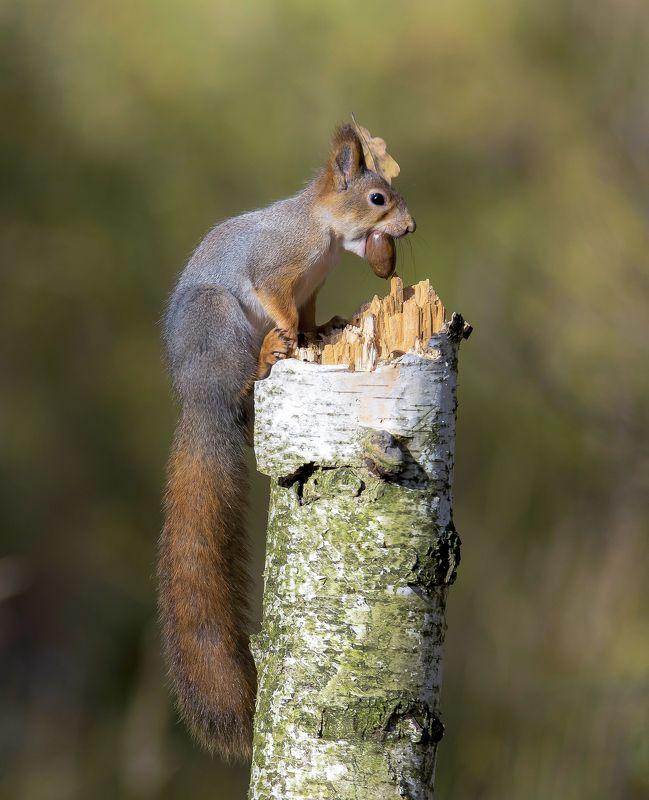 природа,лес,осень,белка Осенние хлопотыphoto preview