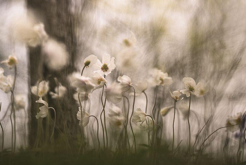 ветреницы, цветы, свет, цвет, весна, воронеж, нежность, дивы Мюзикл...photo preview