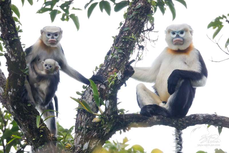 Toнкинский ринопитек (Tonkin snub-nosed monkey)photo preview