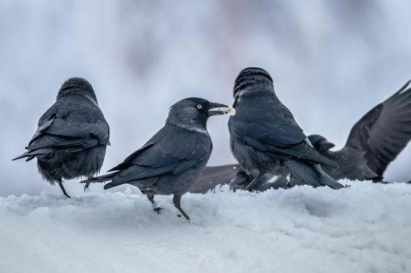 галки, птицы, снег, зима, снегопад, гуляния, праздник,corvus monedula Галочьи гулянияphoto preview