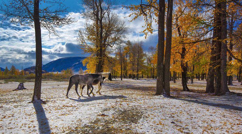 алтай, осень, тополиная_роща, горы, чаган-узун, краски, кони, валерий_чичкин Прогулка осенним утромphoto preview