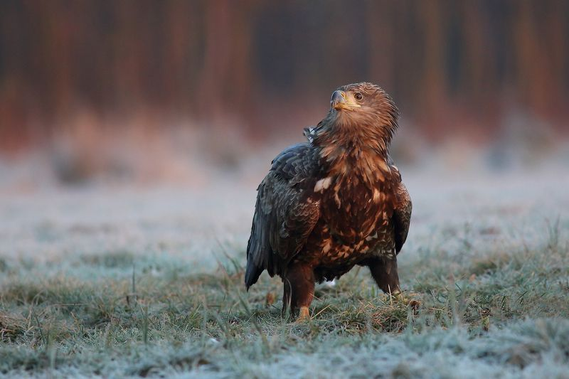 Suprised White tailed eaglephoto preview