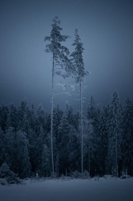 ленинградская область, лес, деревья, зима, сумерки Виденияphoto preview