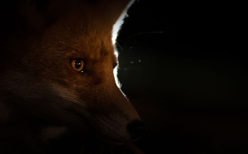 fox, hunting, night, finland Fox hunting at nightphoto preview