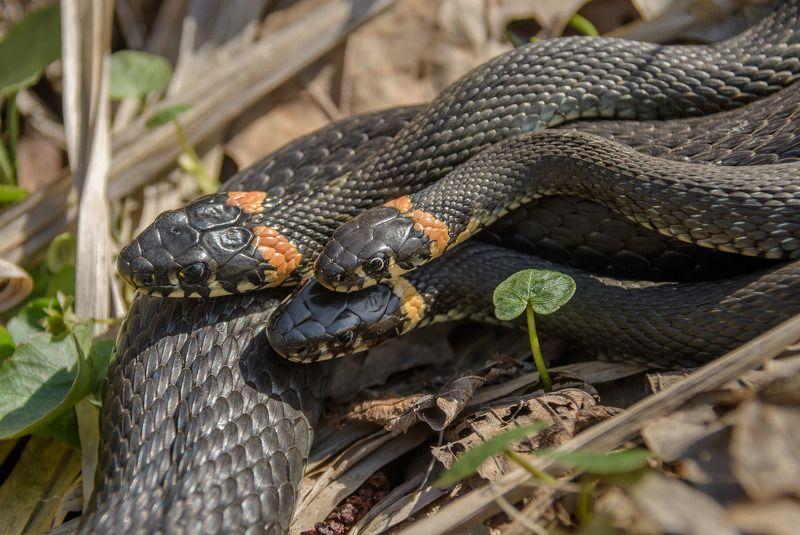 уж обыкновенный, ужи, змеи, спаривание, сезон, весна, апрель 2017, соперничество, борьба, голова к голове, рептилии, пресмыкающиеся, natrix natrix, красная книга мо, змея Соперничествоphoto preview