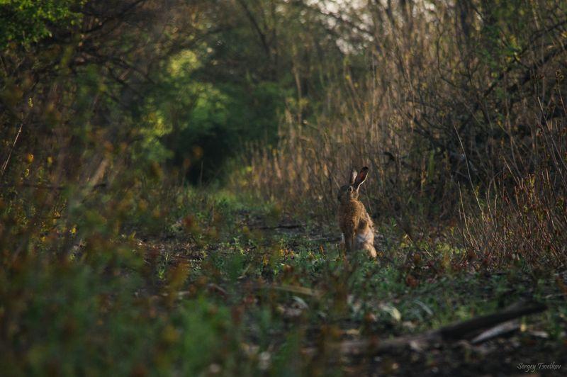 заяц, животные, природа, лес Утренние процедурыphoto preview