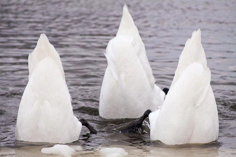 лебеді Елементи синхронного плаванняphoto preview